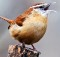 Carolina-Wren-3-Photoshopped-Image